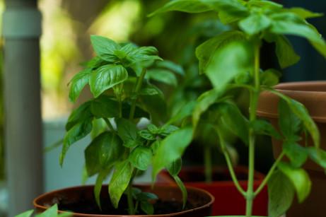 Pěstování bylinek na zahradě