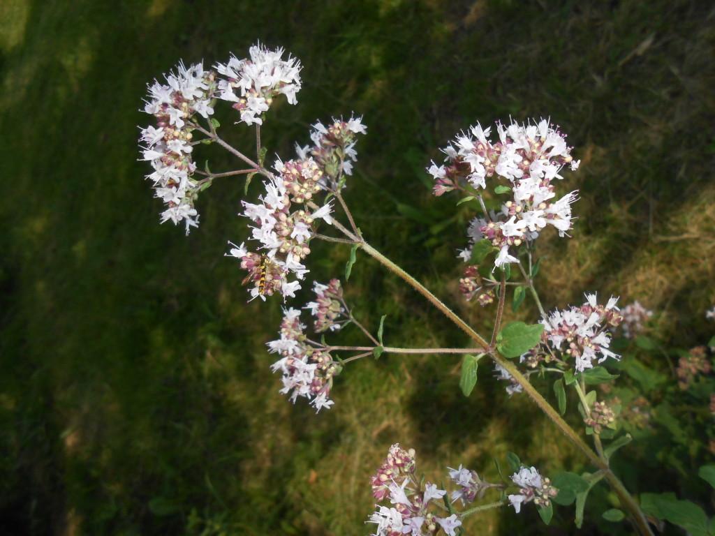 Oregano květ