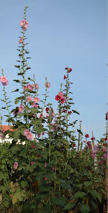 Topolovka růžová celá rostlina