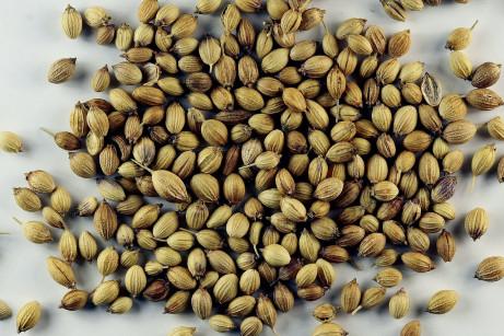 Indická varieta koriandru