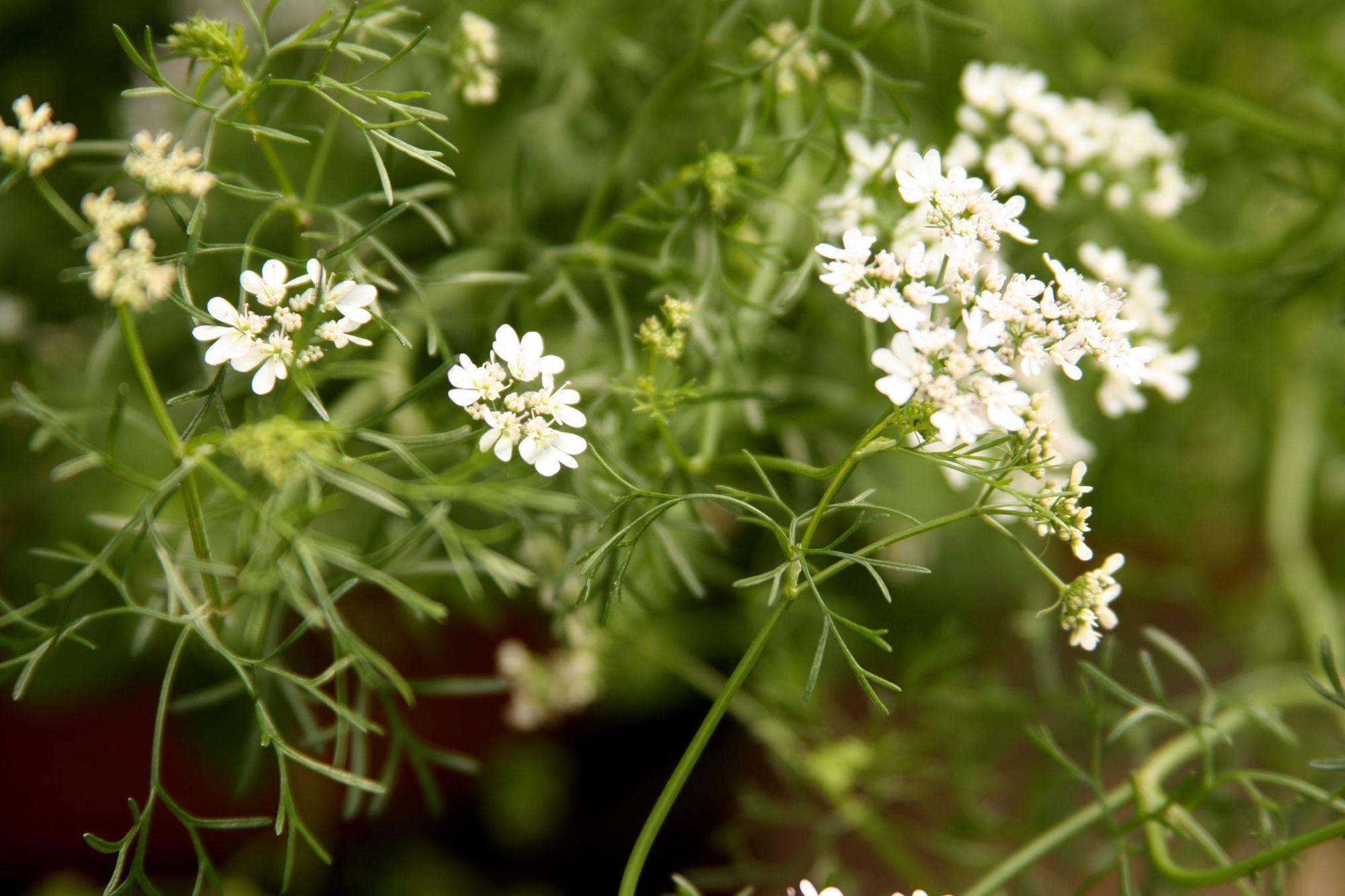 kvet-koriandru