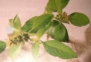 Bazalka pravá citronová