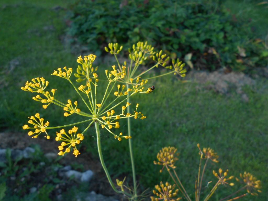 Květ kopru
