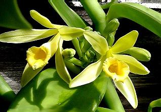 Květ vanilky